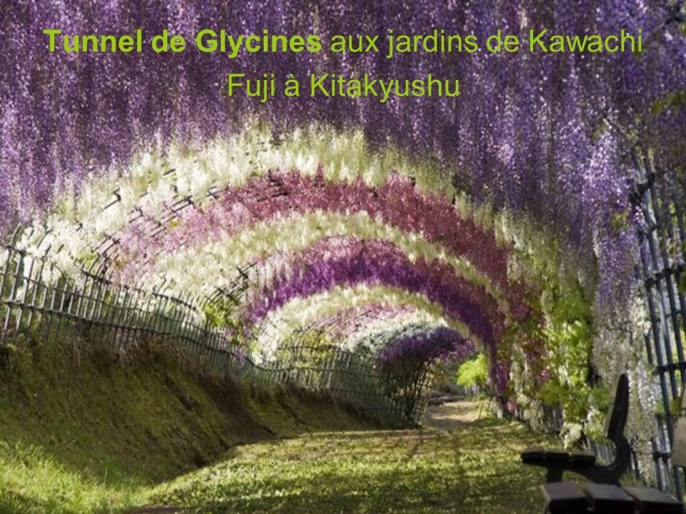 Tunnel de Glycines aux jardins de Kawachi Fuji à Kitakyushu
