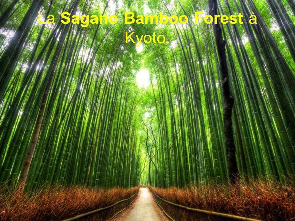 La Sagano Bamboo Forest à Kyoto.