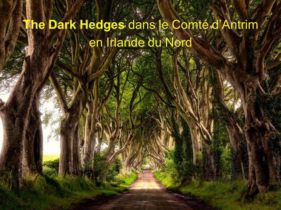 The Dark Hedges dans le Comté d'Antrim en Irlande du Nord