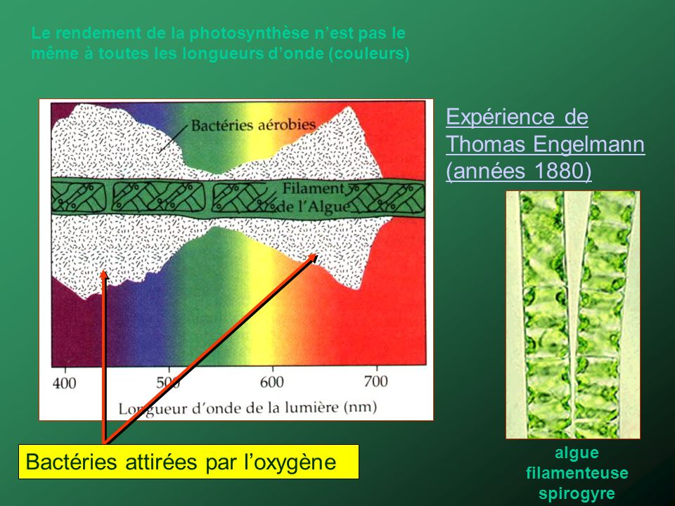 algue filamenteuse spirogyre
