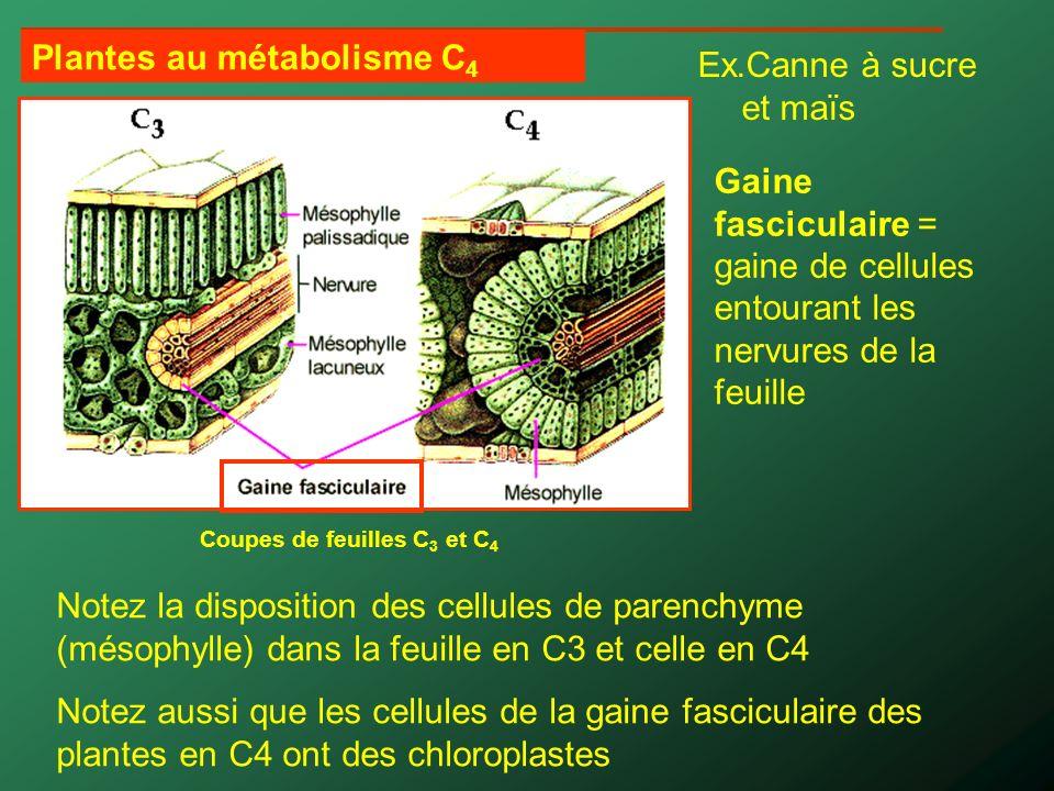 Plantes au métabolisme C4 Ex.Canne à sucre et maïs
