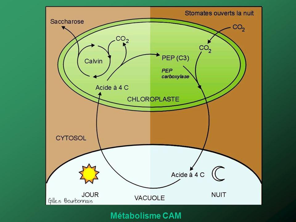 Métabolisme CAM