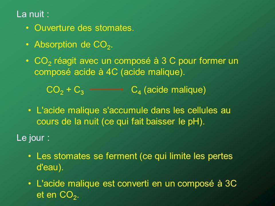 La nuit : Ouverture des stomates. Absorption de CO2. CO2 réagit avec un composé à 3 C pour former un composé acide à 4C (acide malique).