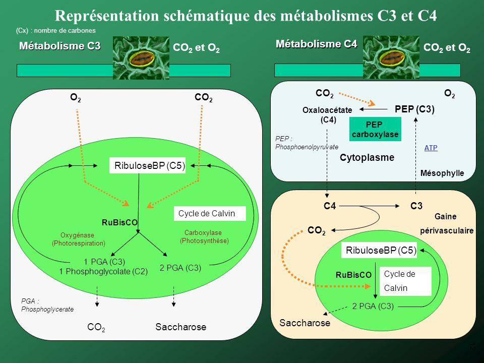Représentation schématique des métabolismes C3 et C4