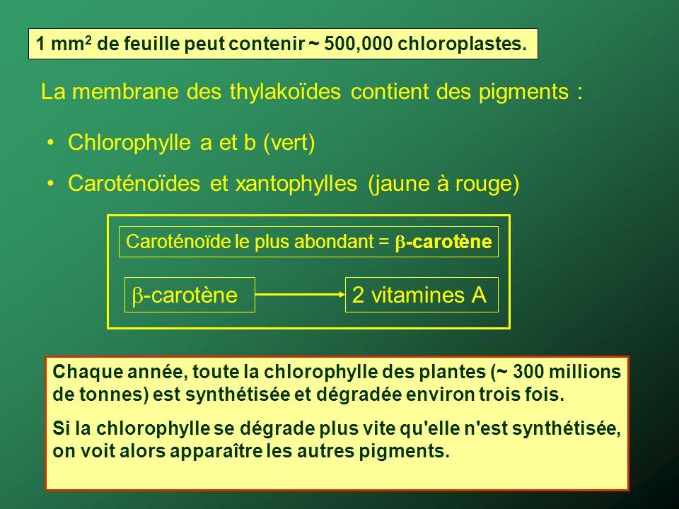 La membrane des thylakoïdes contient des pigments :