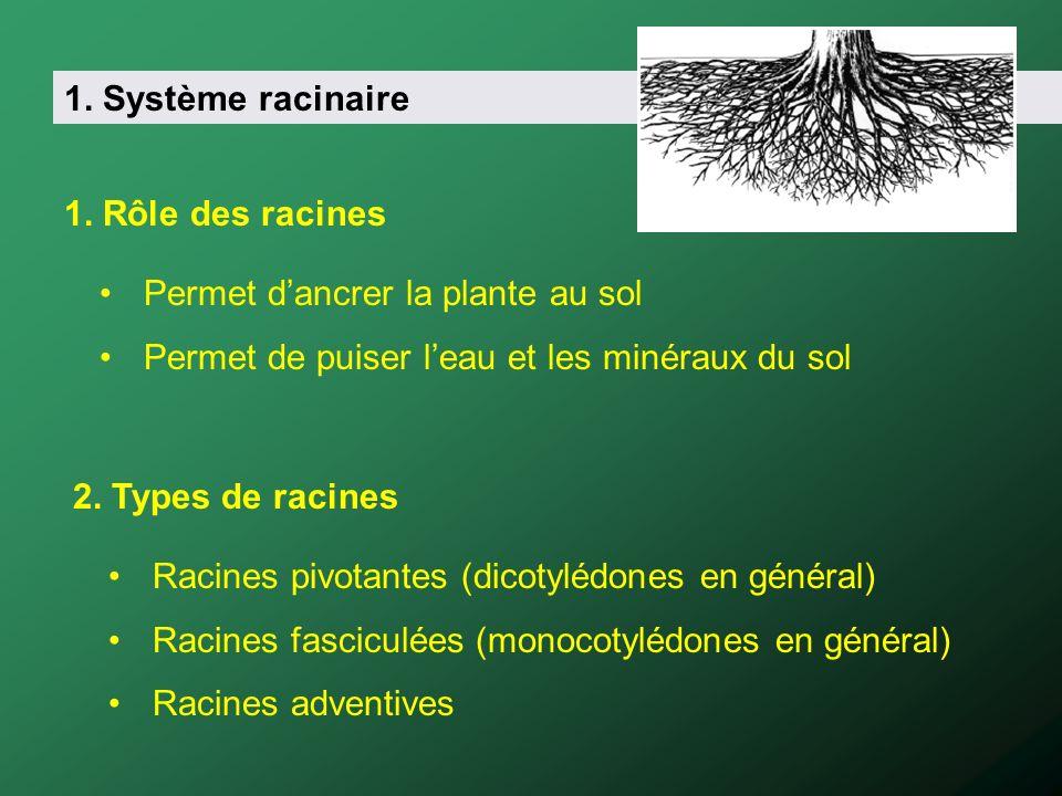 1. Système racinaire 1. Rôle des racines. Permet d'ancrer la plante au sol. Permet de puiser l'eau et les minéraux du sol.