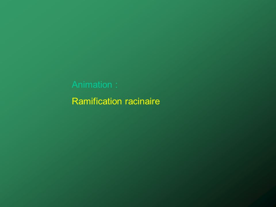 Animation : Ramification racinaire