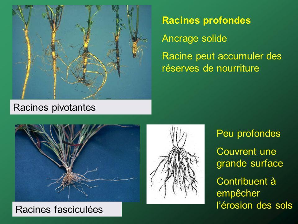 Racines pivotantesRacines fasciculées. Racines profondes. Ancrage solide. Racine peut accumuler des réserves de nourriture.