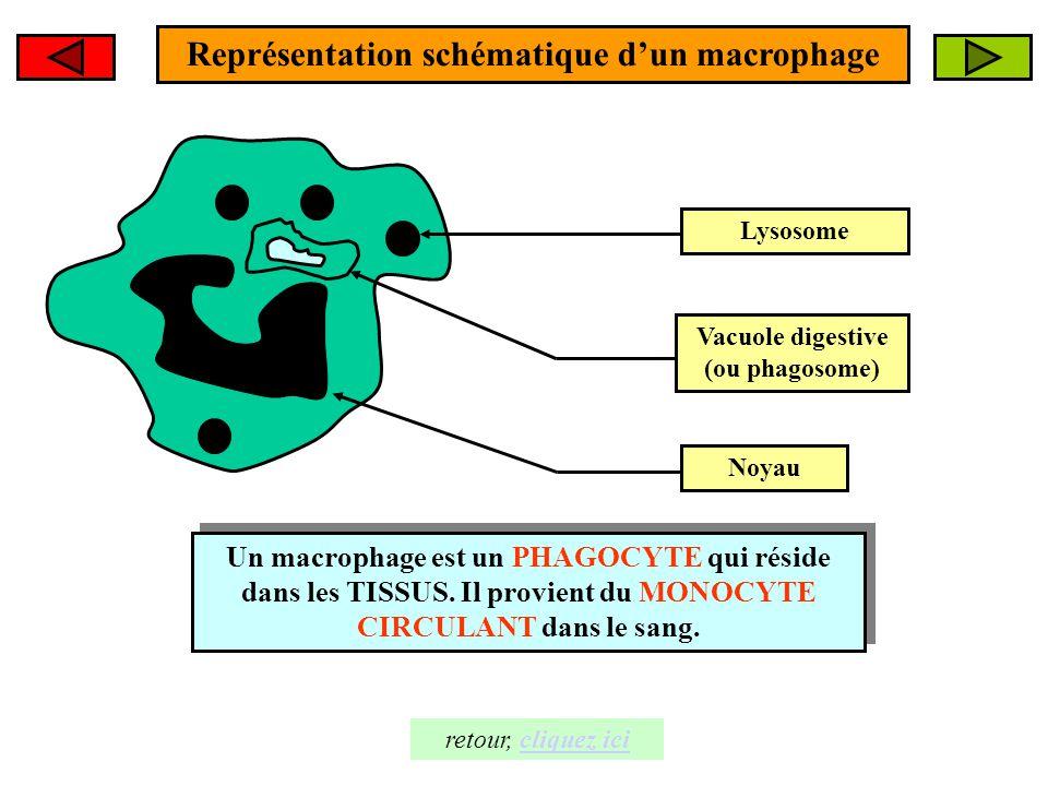 Représentation schématique d'un macrophage