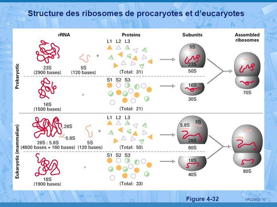 Structure des ribosomes de procaryotes et d'eucaryotes