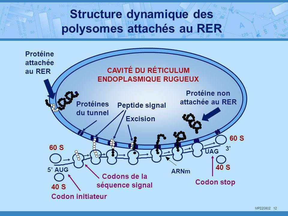 Structure dynamique des polysomes attachés au RER