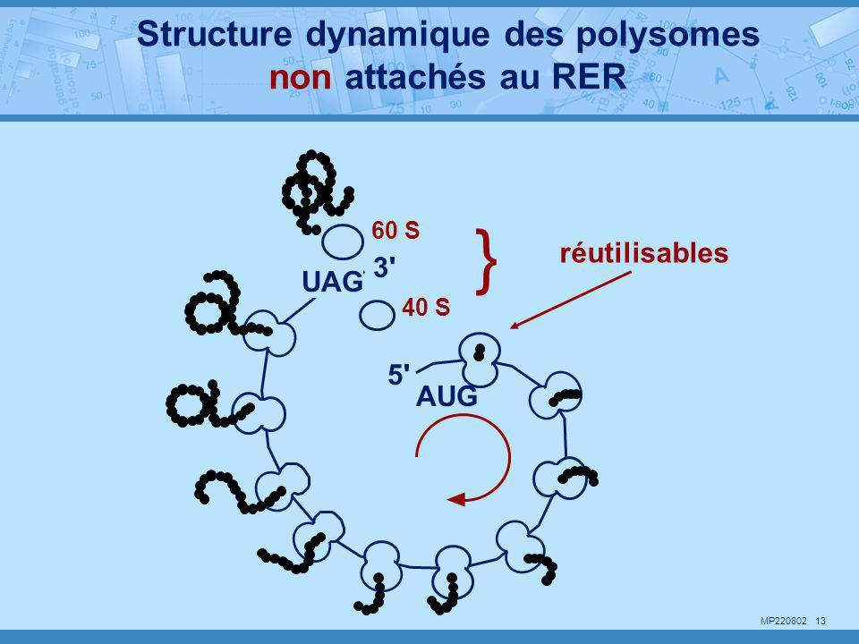 Structure dynamique des polysomes non attachés au RER