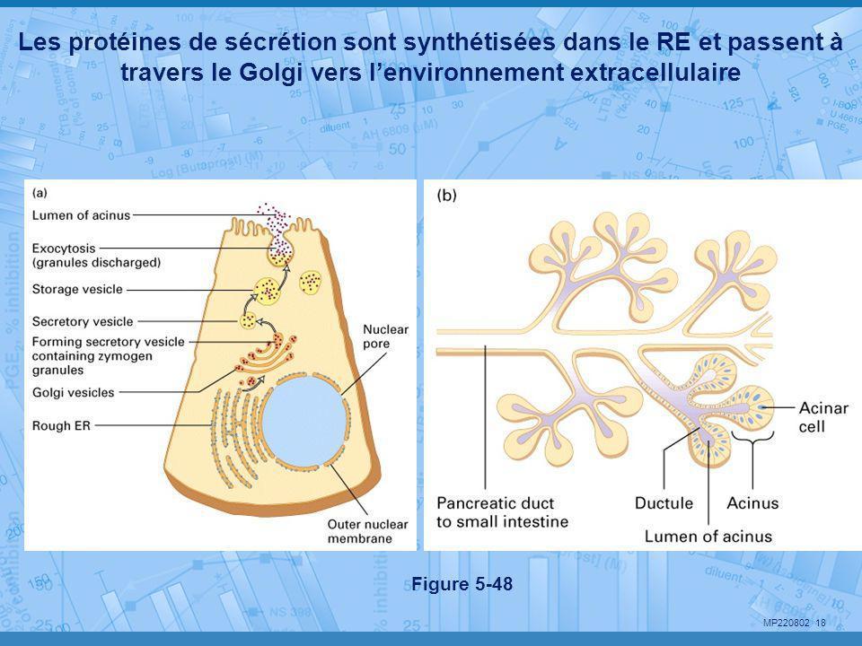 Les protéines de sécrétion sont synthétisées dans le RE et passent à travers le Golgi vers l'environnement extracellulaire