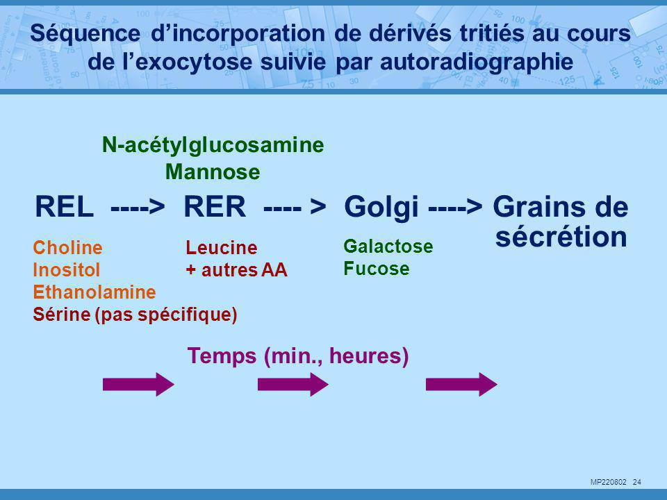 REL ----> RER ---- > Golgi ----> Grains de sécrétion