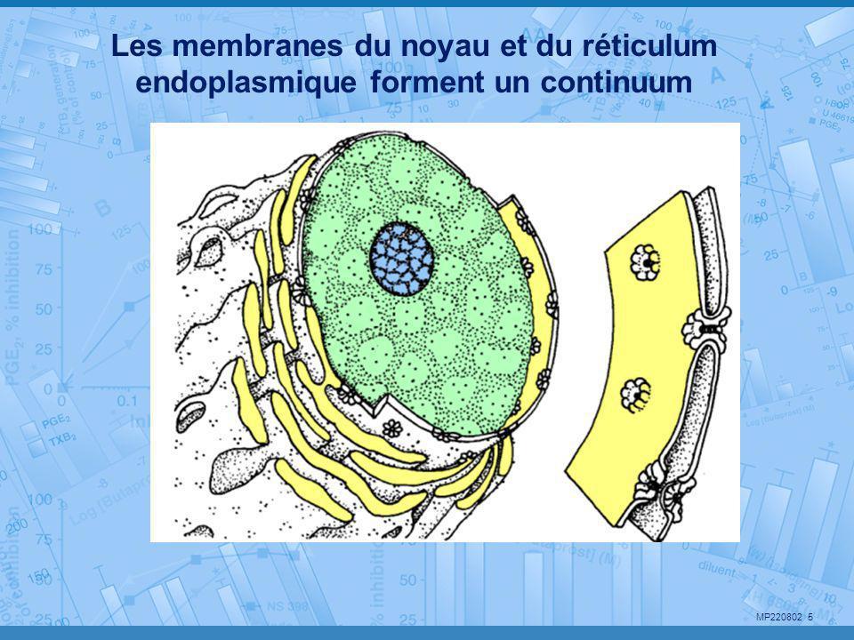 Les membranes du noyau et du réticulum endoplasmique forment un continuum