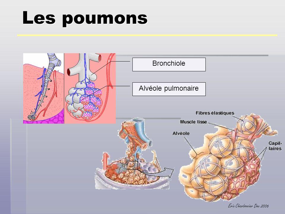 Les poumons Bronchiole Alvéole pulmonaire