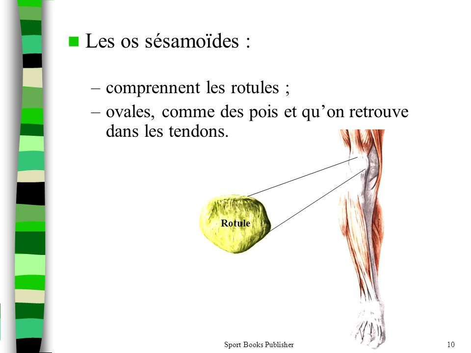 Les os sésamoïdes : comprennent les rotules ;