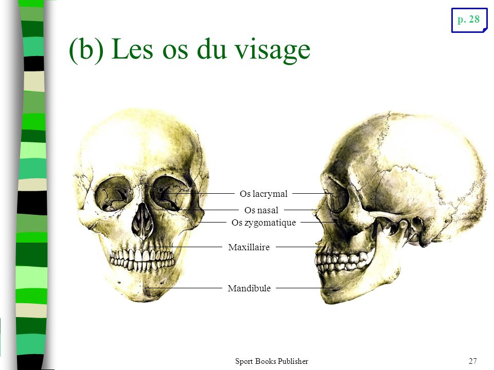 (b) Les os du visage p. 28 Os lacrymal Os nasal Os zygomatique