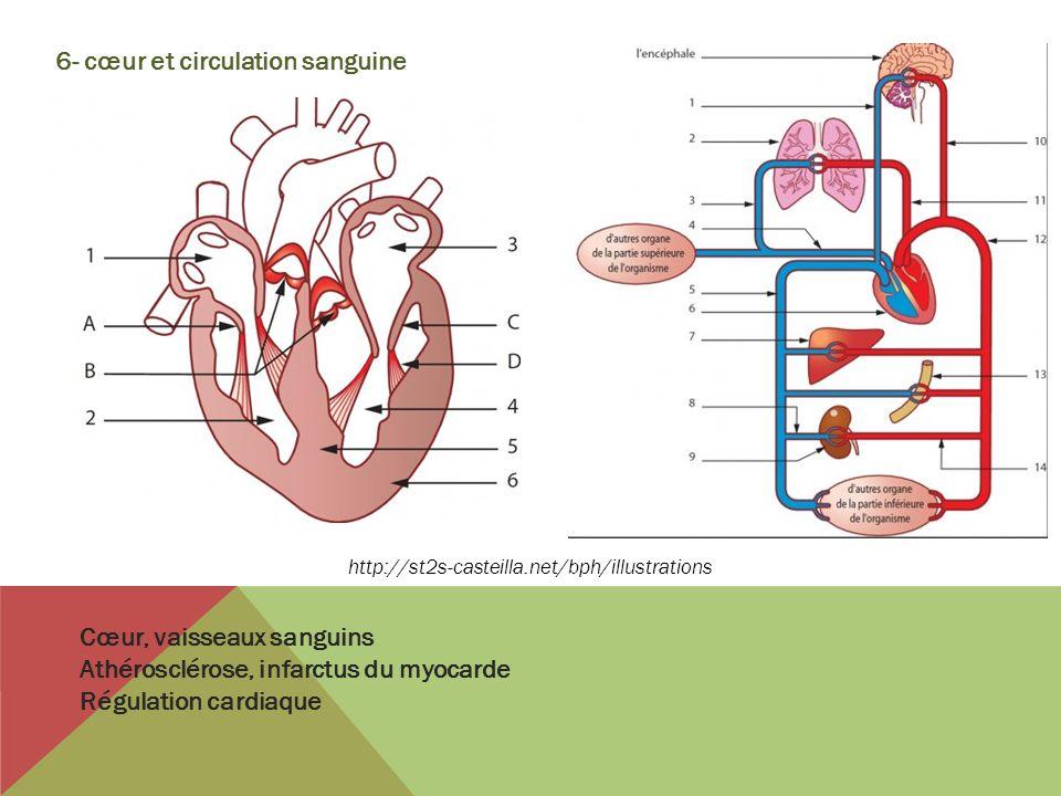 6- cœur et circulation sanguine
