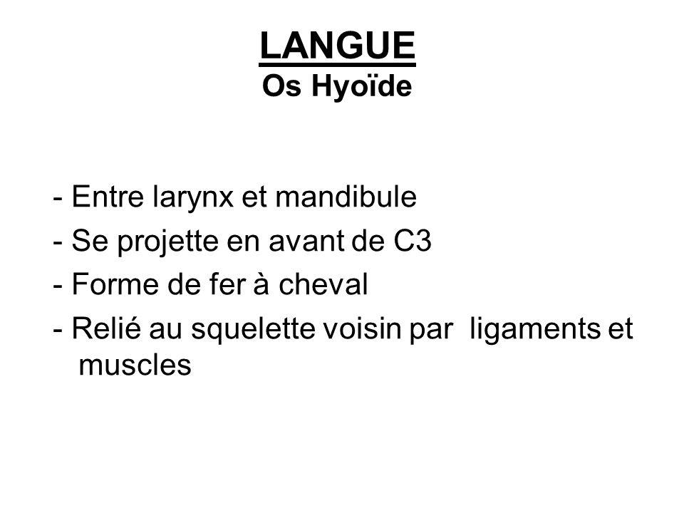 LANGUE Os Hyoïde - Entre larynx et mandibule