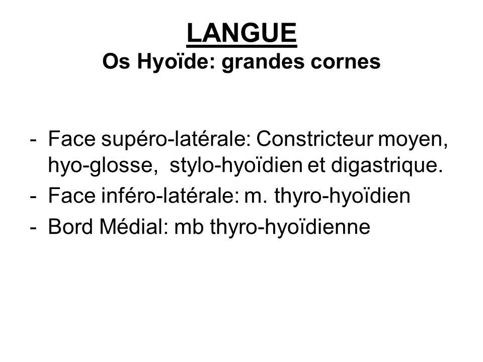 LANGUE Os Hyoïde: grandes cornes
