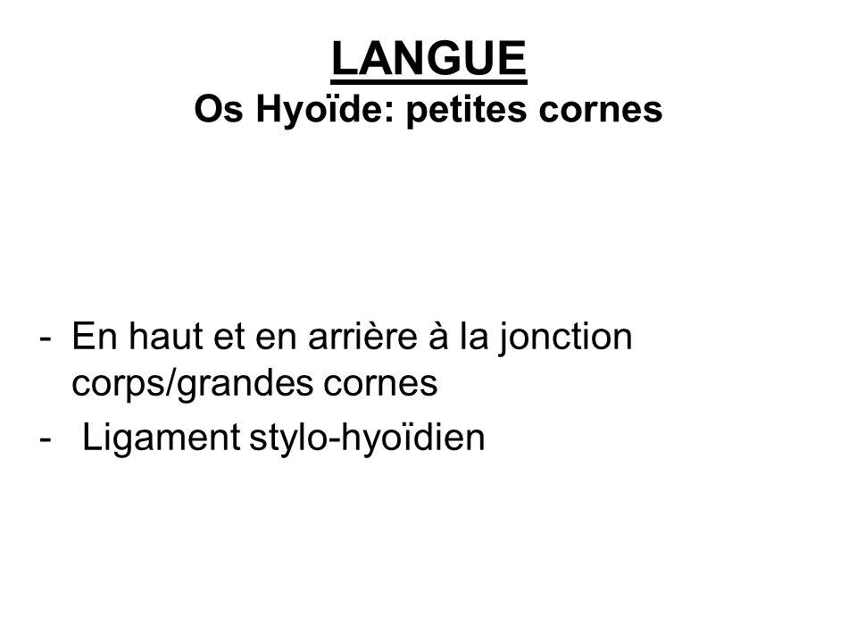 LANGUE Os Hyoïde: petites cornes