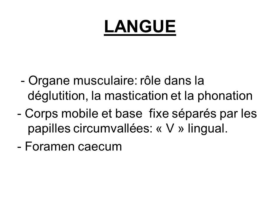 LANGUE - Organe musculaire: rôle dans la déglutition, la mastication et la phonation.