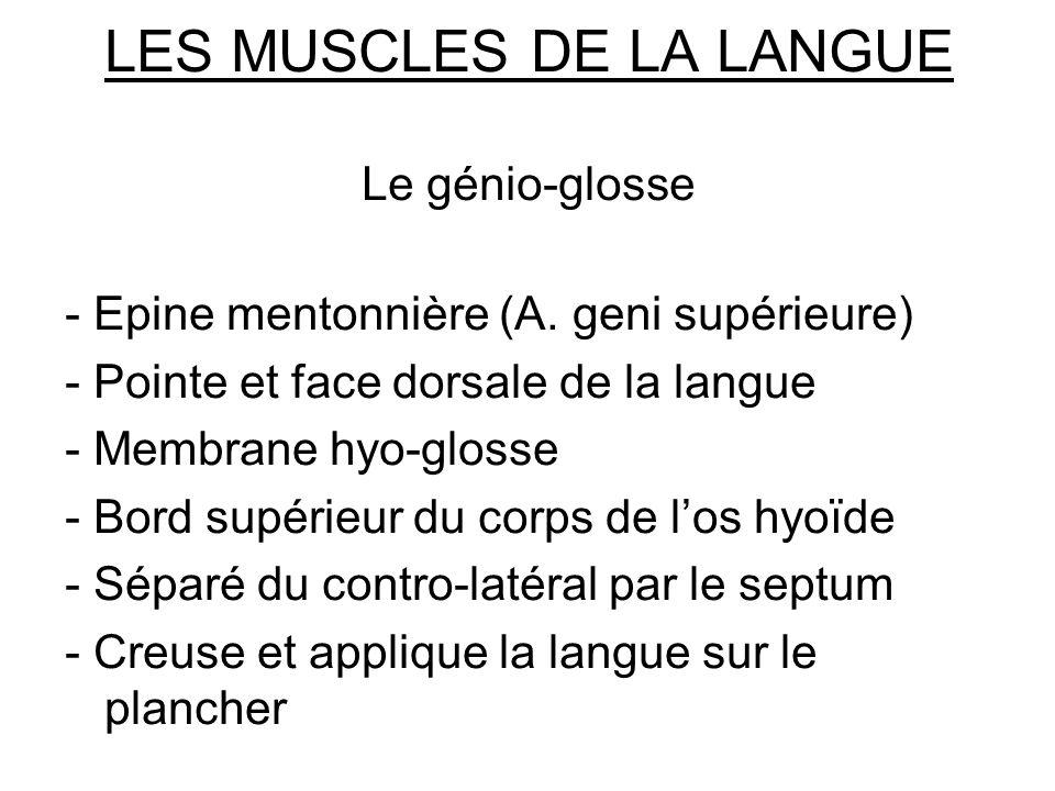 LES MUSCLES DE LA LANGUE Le génio-glosse