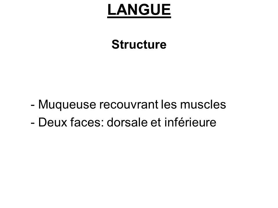 LANGUE Structure - Muqueuse recouvrant les muscles