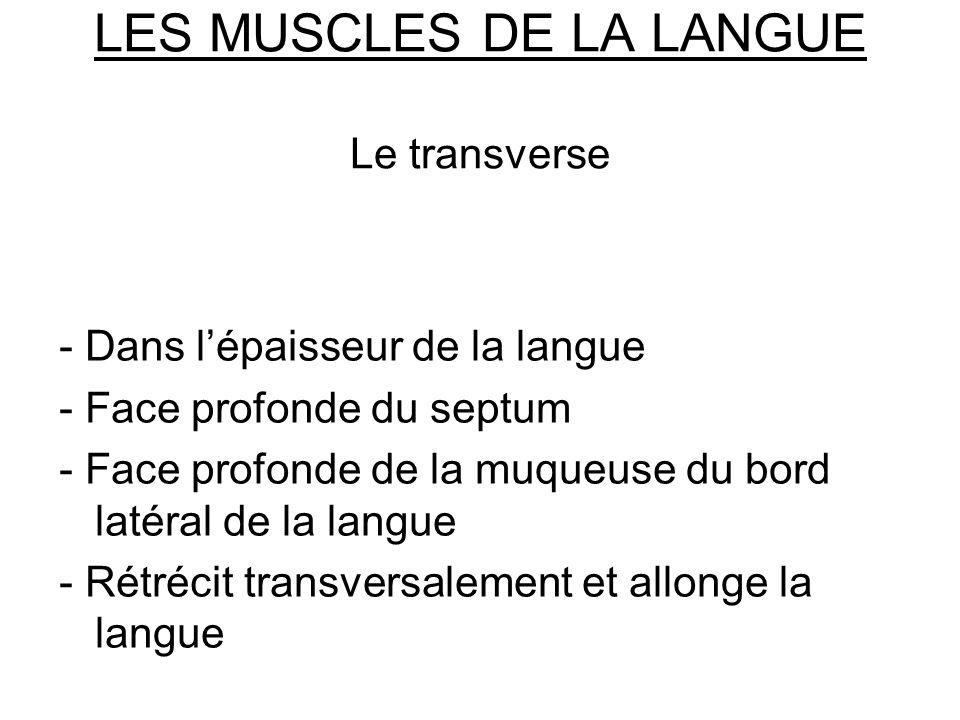 LES MUSCLES DE LA LANGUE Le transverse