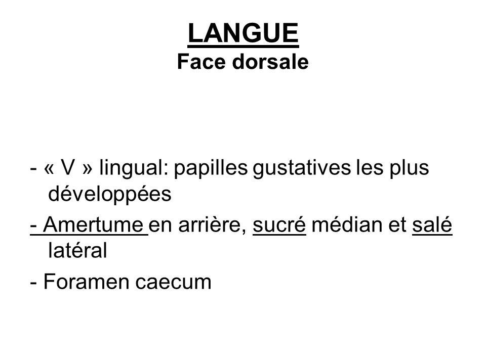 LANGUE Face dorsale - « V » lingual: papilles gustatives les plus développées. - Amertume en arrière, sucré médian et salé latéral.