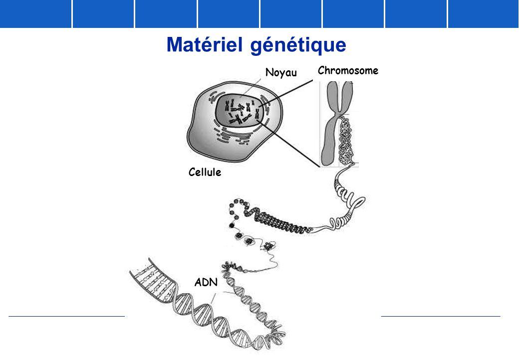 Matériel génétique Noyau Chromosome Cellule ADN