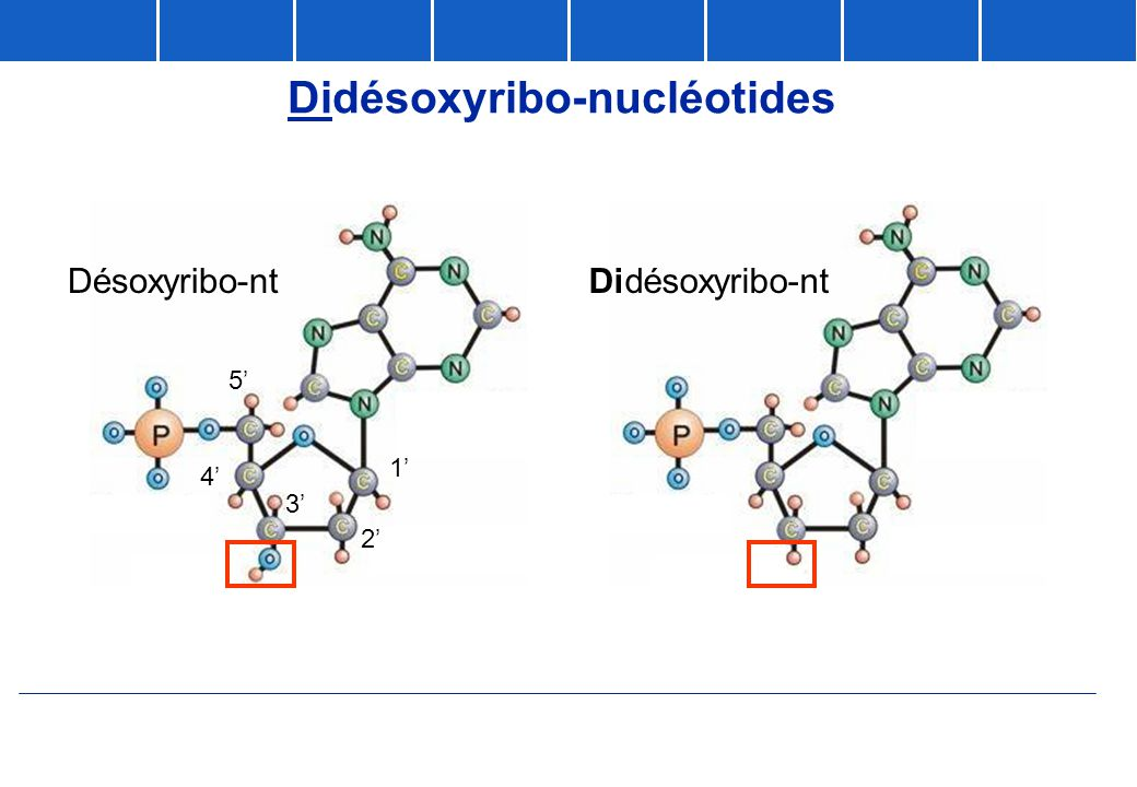 Didésoxyribo-nucléotides