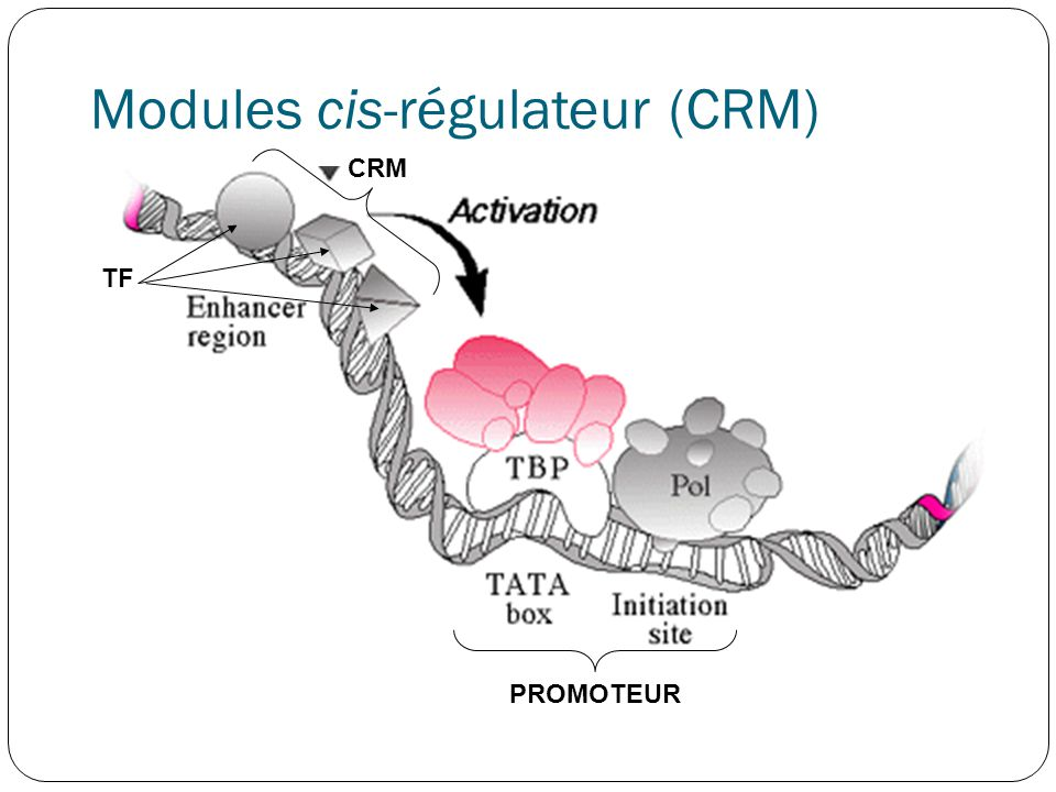 Modules cis-régulateur (CRM)