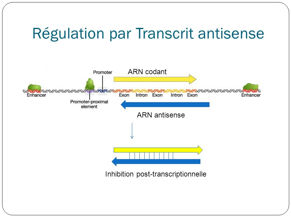 Régulation par Transcrit antisense