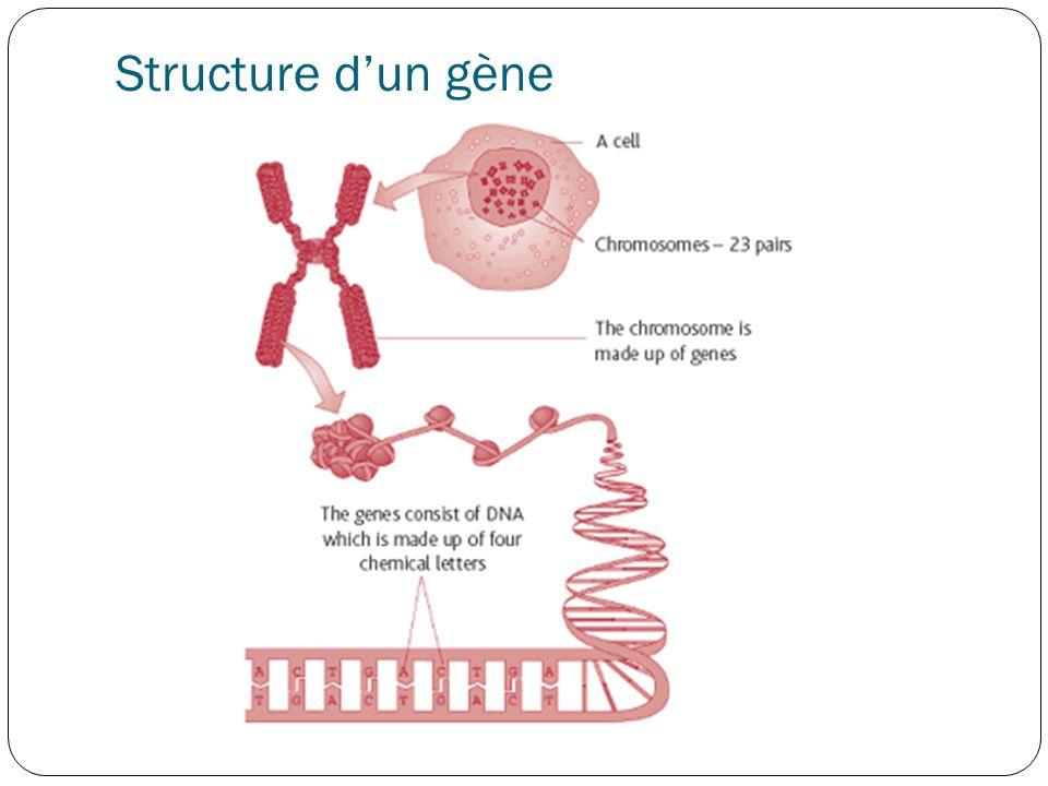 Structure d'un gène Voyons d'abord la structure d'un gène.