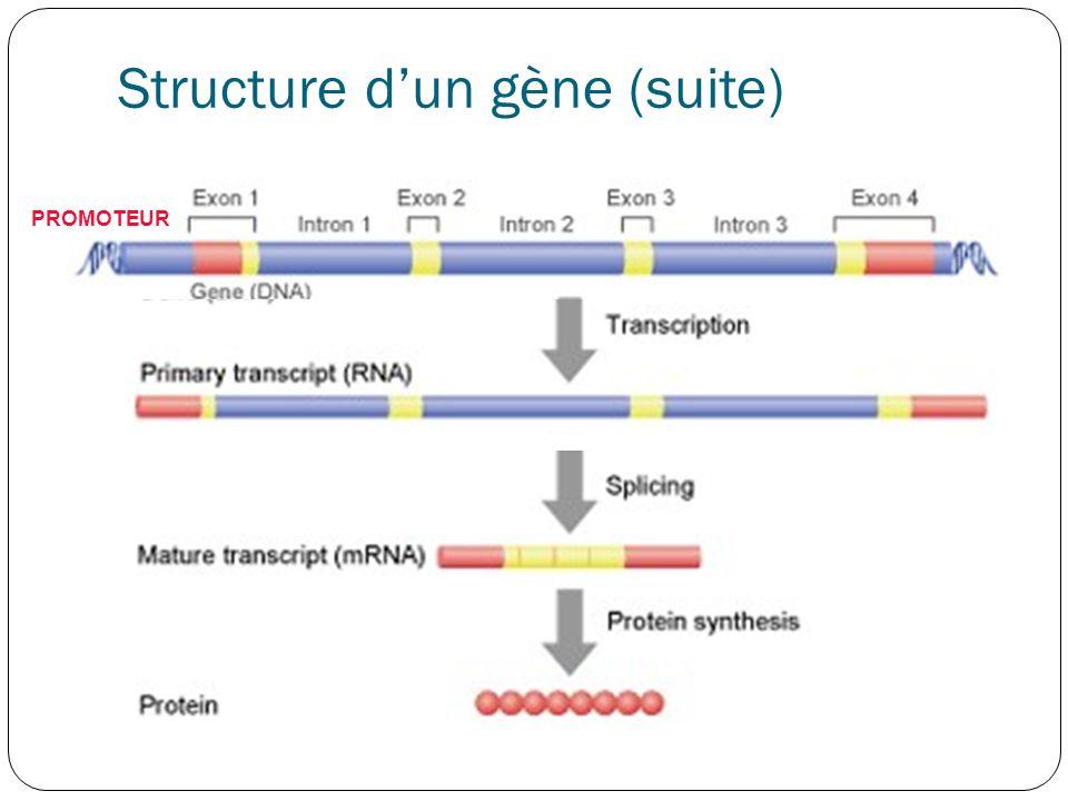 Structure d'un gène (suite)
