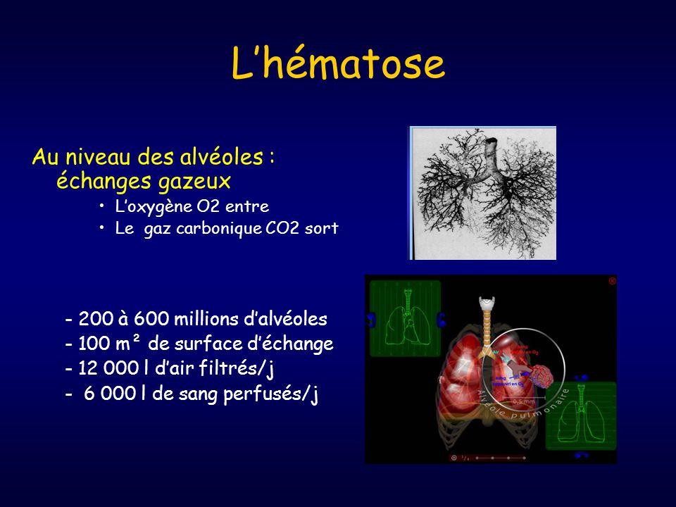 L'hématose Au niveau des alvéoles : échanges gazeux