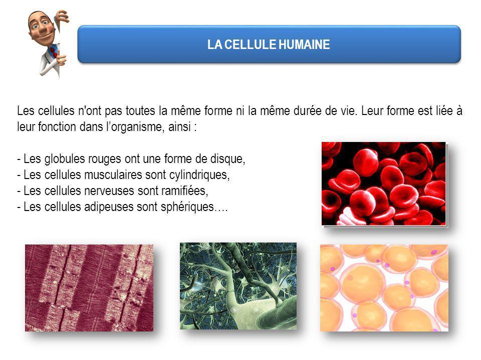 LA CELLULE HUMAINE Les cellules n ont pas toutes la même forme ni la même durée de vie. Leur forme est liée à leur fonction dans l'organisme, ainsi :