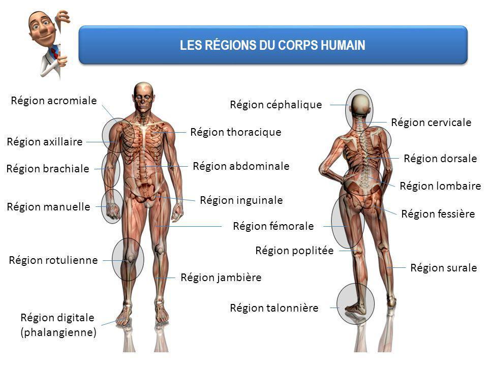 LES RÉGIONS DU CORPS HUMAIN