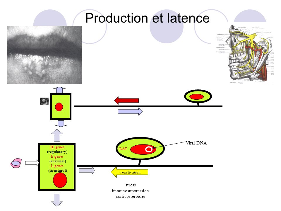 Production et latence Viral DNA stress immunosuppression
