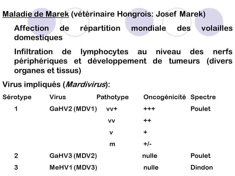 Maladie de Marek (vétérinaire Hongrois: Josef Marek)