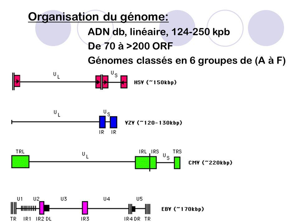 Organisation du génome: