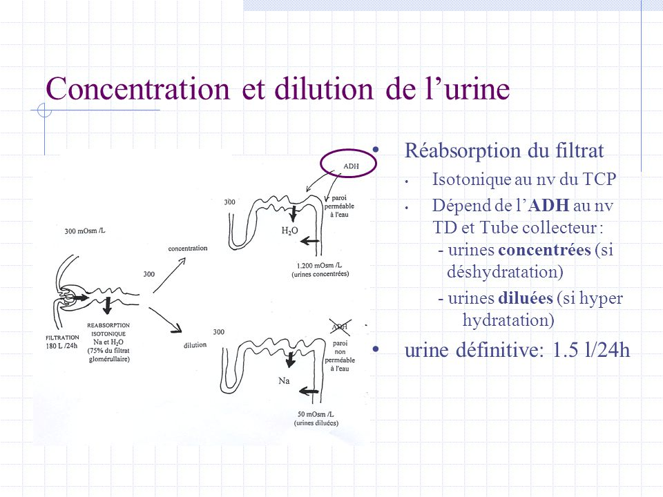 Concentration et dilution de l'urine