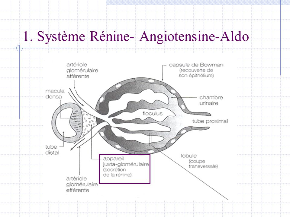 1. Système Rénine- Angiotensine-Aldo