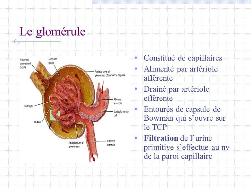 Le glomérule Constitué de capillaires Alimenté par artériole afférente
