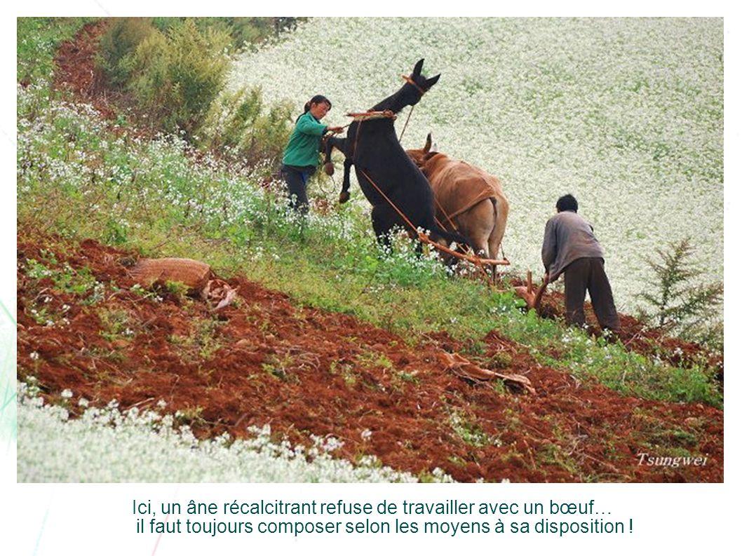 Ici, un âne récalcitrant refuse de travailler avec un bœuf… il faut toujours composer selon les moyens à sa disposition !