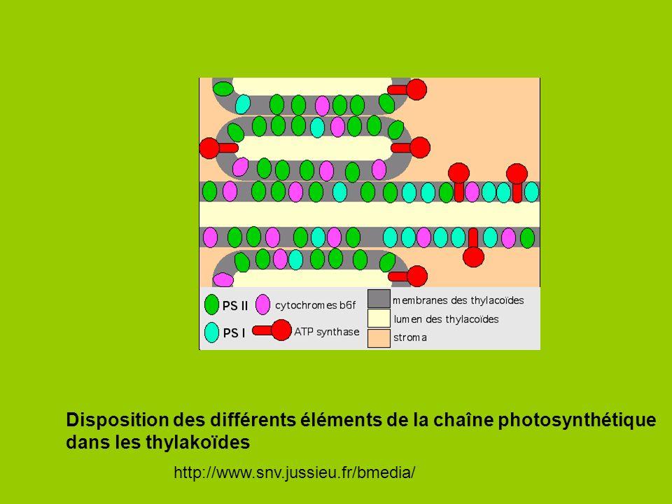Disposition des différents éléments de la chaîne photosynthétique