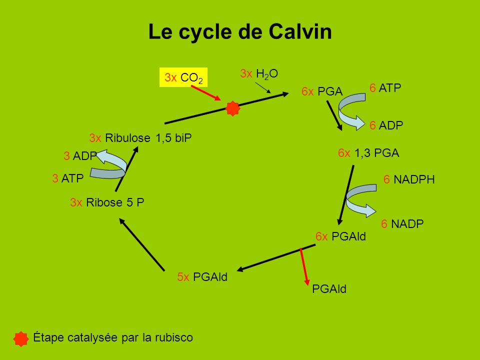 Le cycle de Calvin 3x H2O 3x CO2 6 ATP 6x PGA 6 ADP