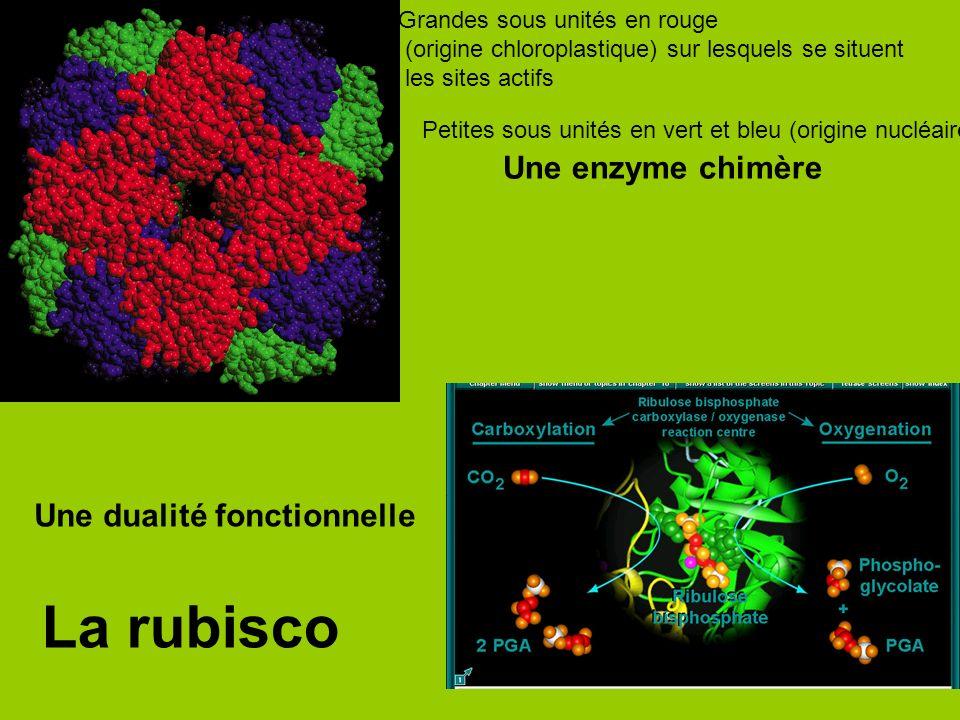La rubisco Une enzyme chimère Une dualité fonctionnelle